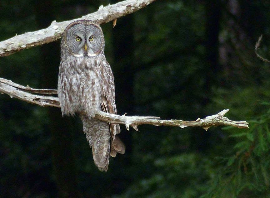 Great grey owl. Photo: © Rob Fowler, used with permission.