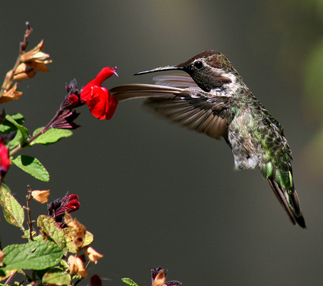 A hummingbird feeding at a red salvia flower. Photo: TJ Gehling, Flickr.com CC.