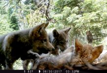 A remote trail camera captured three gray wolf pups playing in Lassen County in June 2017. Photo: U.S. Forest Service.