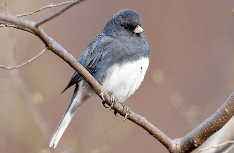 Dark-eyed junco, one of the common backyard birds that are declining . Photo: Michael Stubblefield.