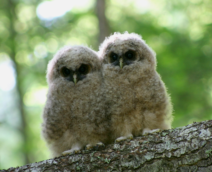 Endangered northern spotted owlets. Photo: USFWS, Wikimedia Commons.