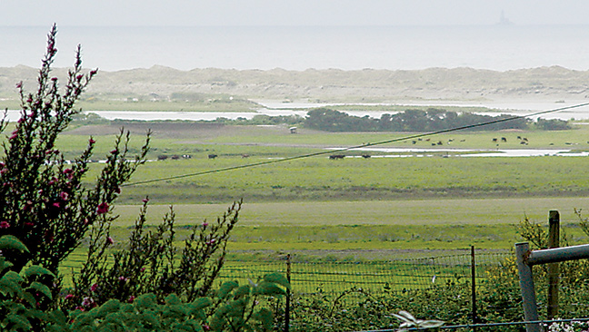 Dairy cattle graze amid the sloughs at the Smith River estuary. Photo: Courtesy of Carl Page.