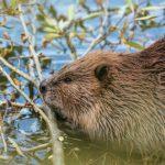 Beaver—NPS-Grand-Teton-web