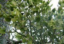 A closeup of mistletoe leaves. Photo: Tara Hunt, Flickr CC.