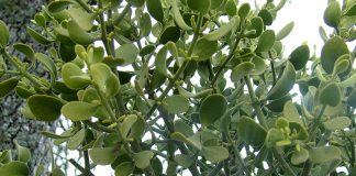 A closeup of mistletoe leaves. Photo: Tara Hunt, Flickr CC.