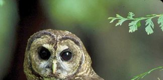 Northern spotted owl. Photo: USFWS.