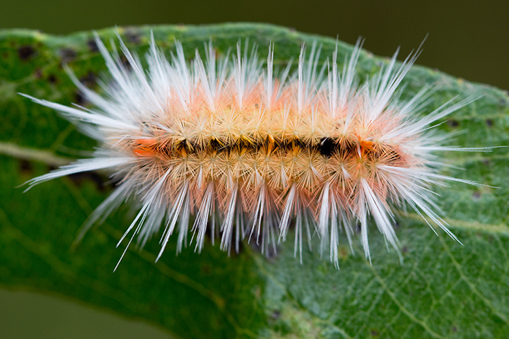 Yellow spotted tiger moth caterpillar (Lophocampa maculata) on its host plant, willow. Photo: Carol Ralph.