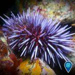 purple urchin